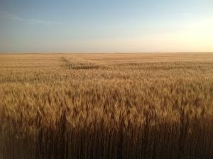 N-Rich strip very evident in field west of Alva.  N-Rich 70 bu/ac Farmer Practice 38 bu/ac.