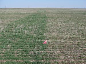 N-Rich Strip in no-till wheat near Hobart OK.