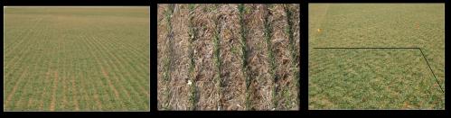 Winter Wheat and Nitrogen Rich Strips.