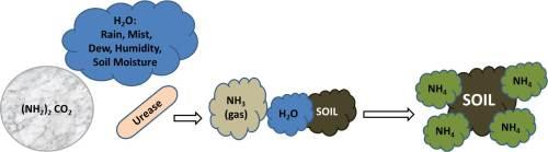 Graphic of Urea's conversion to plant available ammonium.